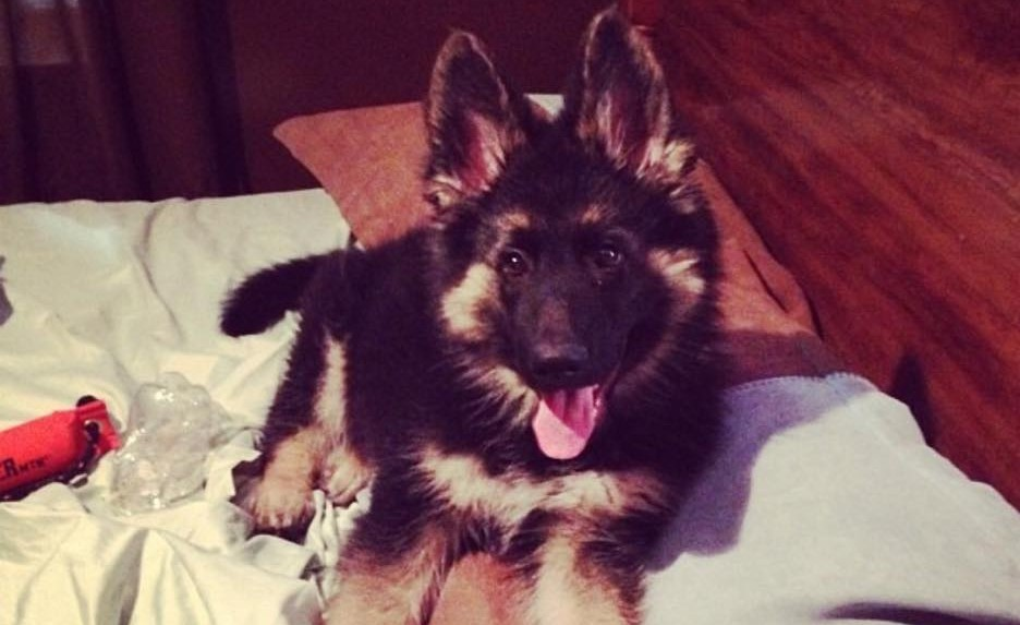 We Love Our German Shepherd Puppies!