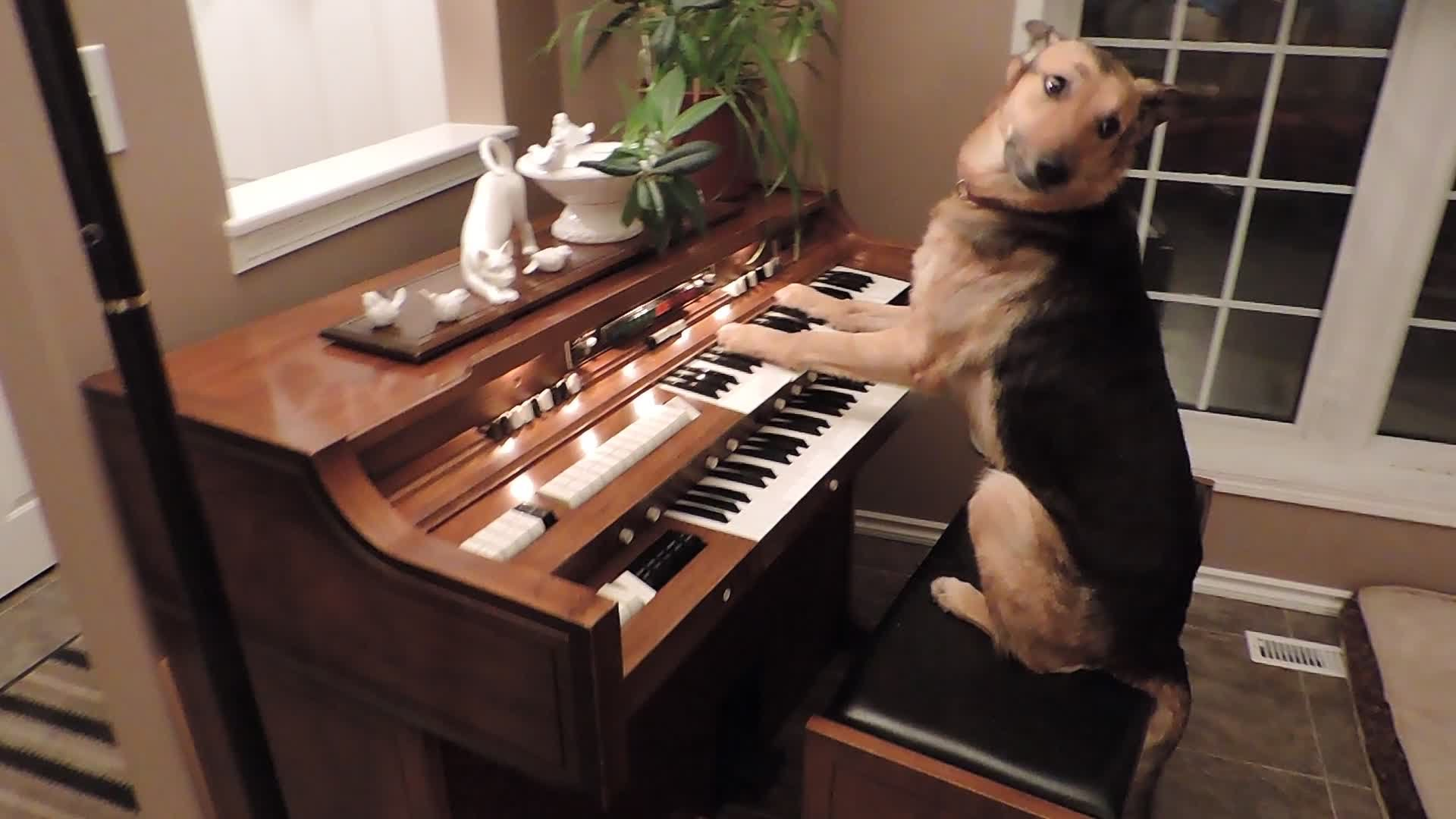 This Piano Playing German Shepherd Will Melt Your Heart