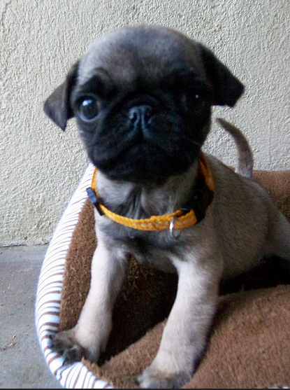 10 Adorable Pug Puppies That Are Killing Us With Cute
