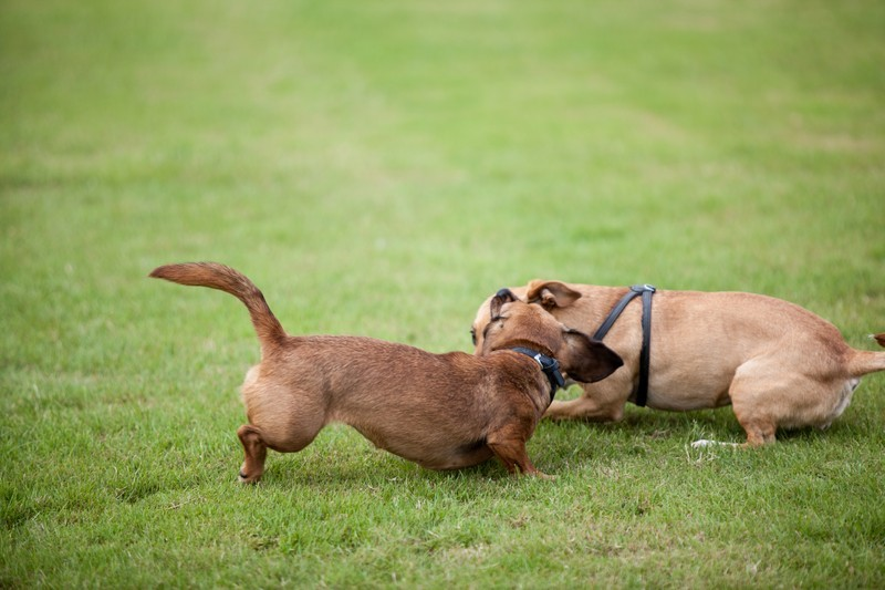 Dog Fight Video Sites