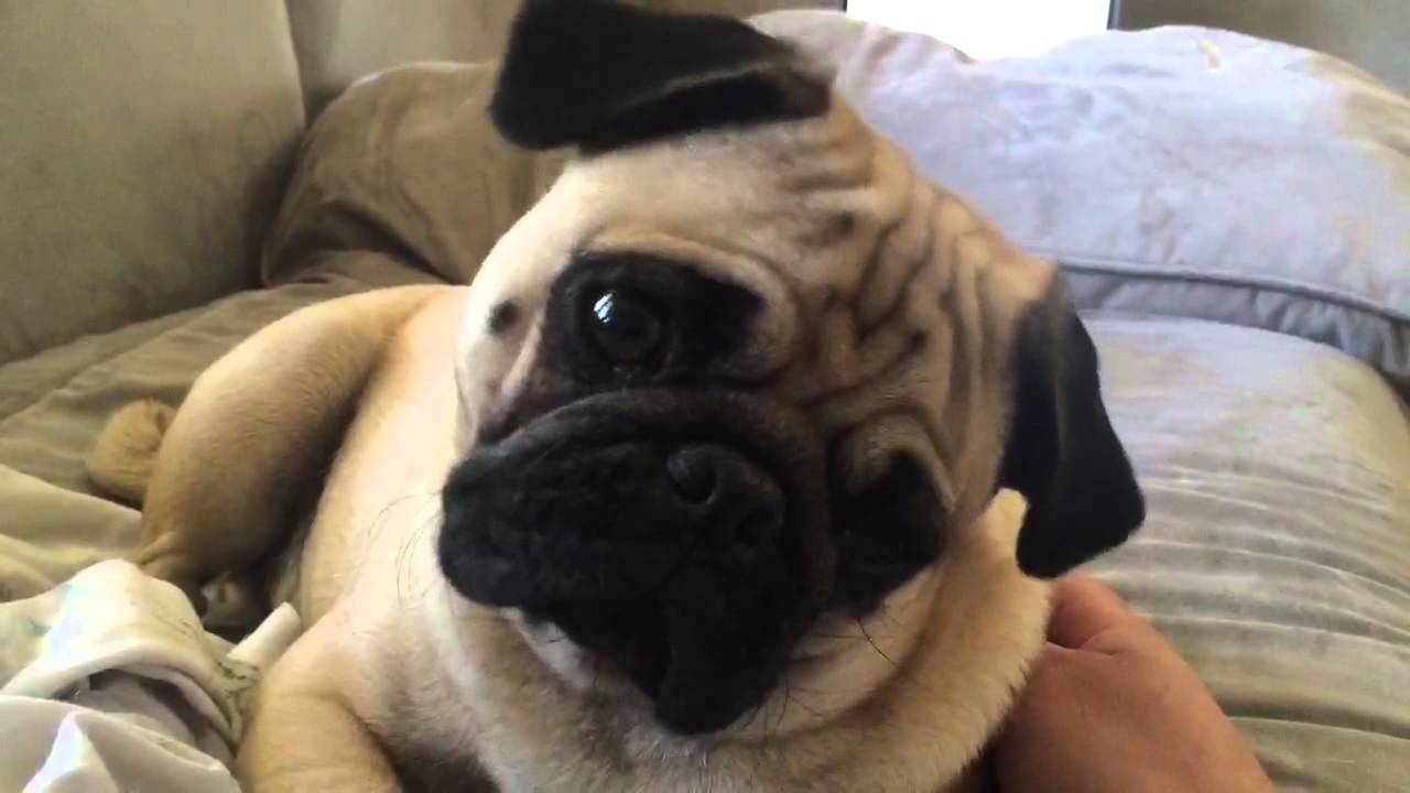 [VIDEO] This Pugs Head Tilting Antics Are CRACKING Us UP!