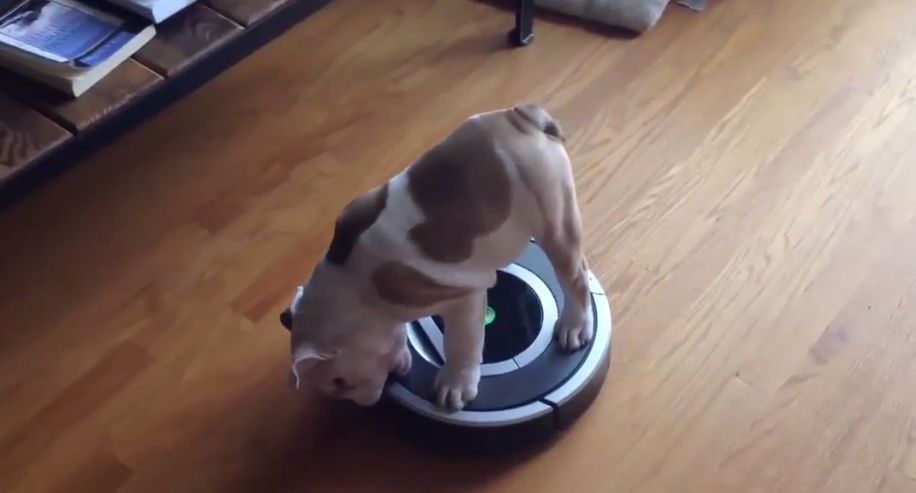 [VIDEO] LOL – This Cute English Bulldog Puppy Is Having A BLAST On His Roomba!