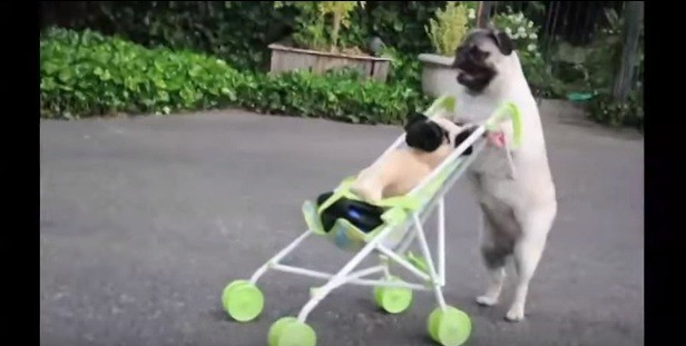 Video This Little Pug Can Push A Stroller Like A Human