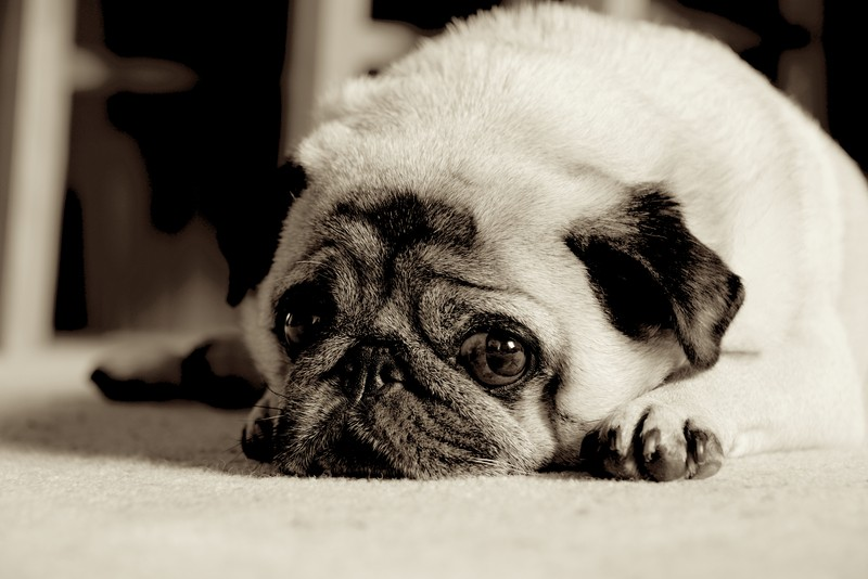 pug laying down learn more about pug dog encephalitis pde and how to 5007