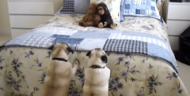 (Video) Two Pugs Try to Scare Off a Stuffed Monkey by Doing Hilarious Antics