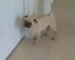 (Video) Pug's Epic Reaction After His Bath is Hilarious