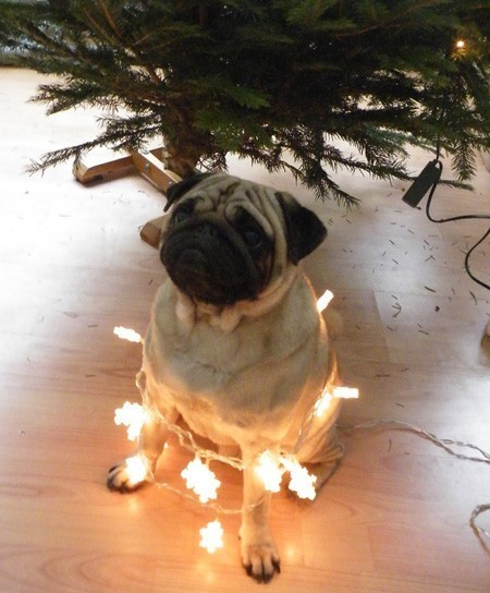 11 Dogs Who Are Lighting Up Our Christmas Trees!
