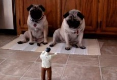 (Video) Two Pugs Are Attacked by a Zombie, and Their Reaction is Hysterical