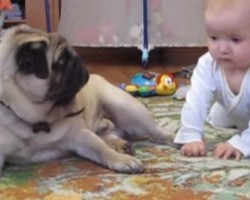 (Video) Watch What Happens When a Baby Wants a Bite of This Pug's Treat – LOL!