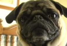 (Video) Pugs Knows How to Rap Perfectly to 'Ice Ice Baby' and I Can't Stop Laughing!