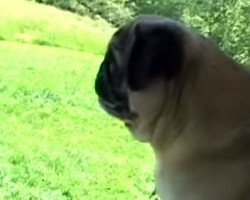 (Video) Pug Throws a Fit by Screaming After a Party and We STILL Can't Stop Cracking Up