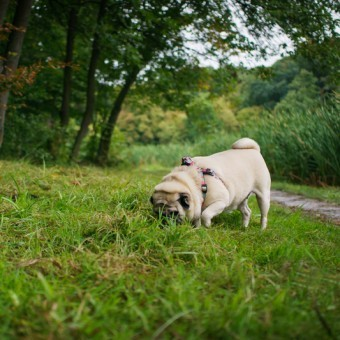 Reasons Why a Pug May be Doing These Funny Behaviors
