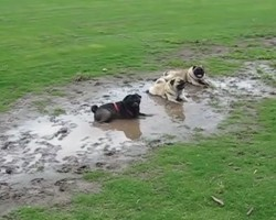 (VIDEO) Defiant Pugs Ignore Their Dad and Do This Dirty Deed… LOL!
