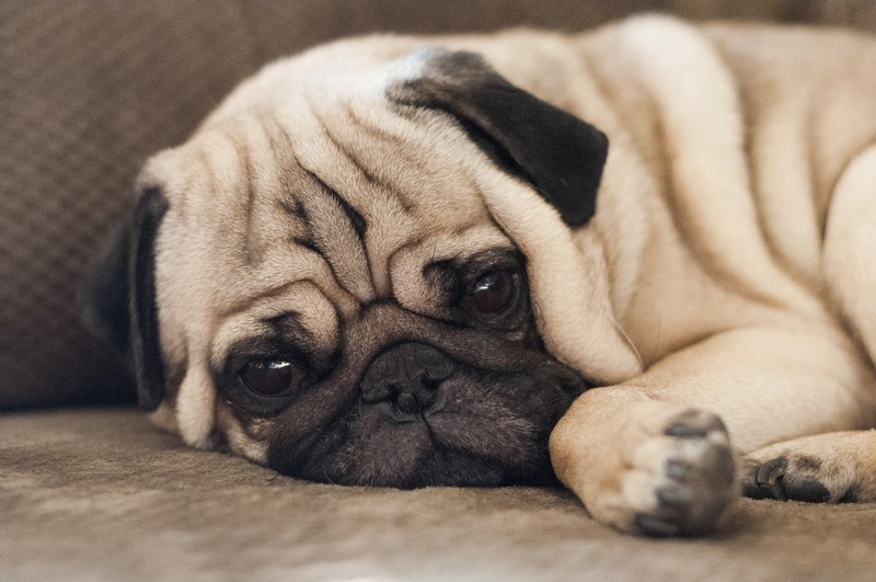 pug laying down 3 natural remedies that ll keep your pooch on the up and up 4473