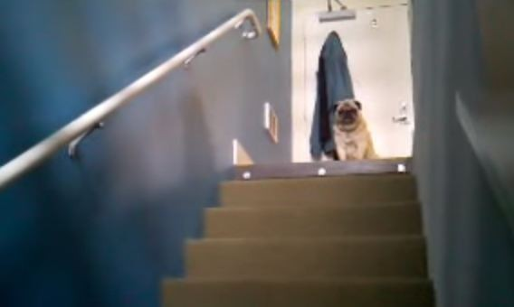 pugs on top of the stairs