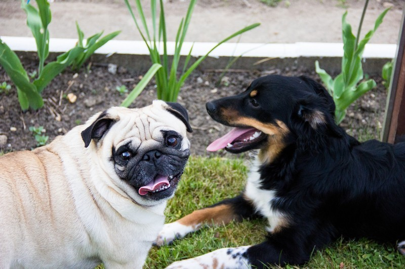 pug and friend on the grass