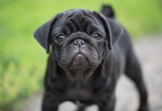 4 Things We Didn't Know About Black Pugs