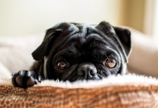 4 Things We Had No Idea About Black Pugs