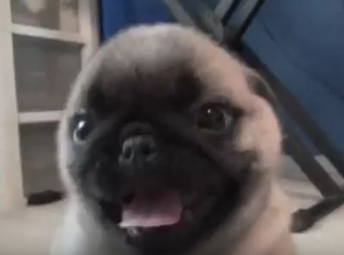 Video Pug Puppy Totally Spazzes Out And Attacks Camera