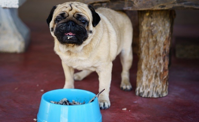 pug eating near bowl