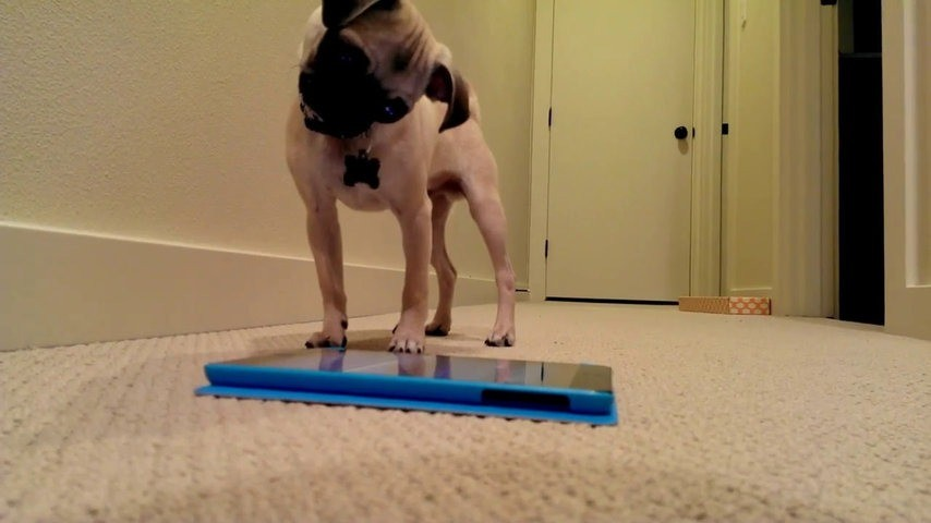 pug puppy farting app