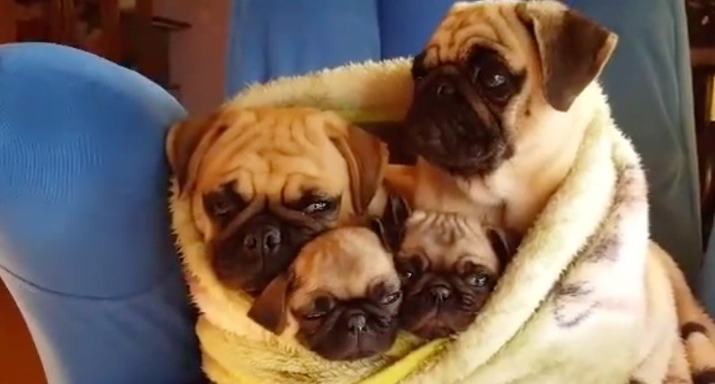 (VIDEO) Family Of Pugs Are Snug As A Bug In A Rug. Now See How Loving They  Are Toward Each Other!