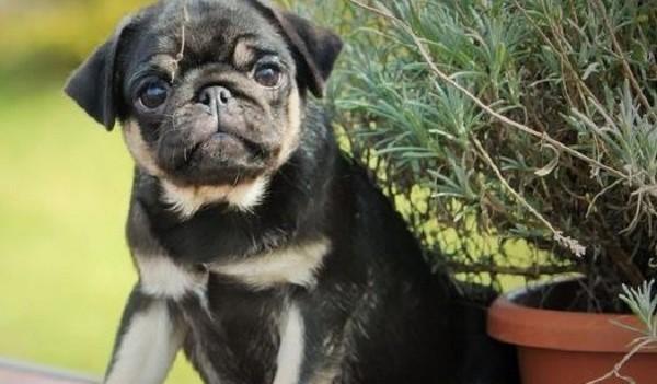 uniquely colored pug