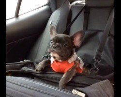 (Video) This May be the Most Adorable Frenchie Puppy Tantrum EVER