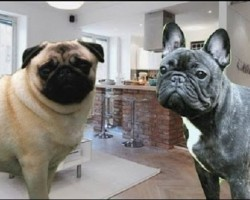 (Video) Pugs Compared to French Bulldogs. Learn Some Intriguing Differences Between the Two!