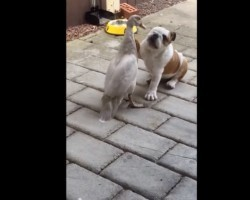 (Video) Bulldog Puppy and Duck Get Into Wrestling Match of the Century. It's Hard to Believe This!