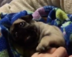 (Video) This ADORABLE Peek-a-Boo Pug Will Make Anyone's Day, Guaranteed!