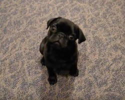 (Video) This Interactive Pug Puppy Will Make Anyone ROFL. How She Responds to Her Mom is Priceless!