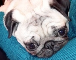 (Video) This Little Pug Cuddle Bug Enjoys Making Funny Noises When She's Happy. Aww!