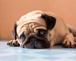Learning All About Pug Dog Encephalitis (PDE) and How to Recognize This Heartbreaking Disease