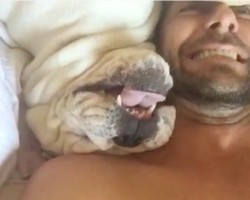 (Video) Bulldog Makes Hilarious Sounds When He's Woken Up and That's Not All… LOL!