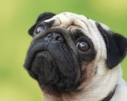 Realities Pug Owners Must Learn to Accept Now or They May Regret it Later