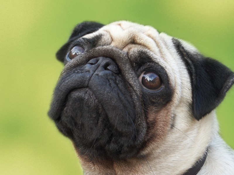 Pug on green background