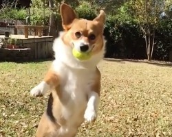 (Video) 35 Adorable Corgis That Anyone Who Watches Them Is Unable to Wipe a Smile off Their Face