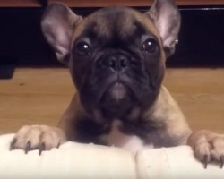 (Video) Baby Frenchie Really Wants Up on the Couch. How He Asks Dad? Aww, My Heart's Melting!