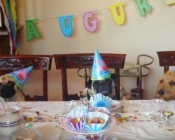 (Video) This Grand Birthday Celebration for a Pug is One for the Ages!