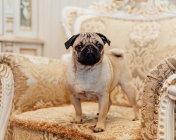 10 Real Life Pug Facts That I Didn't Even Know (Until Now)