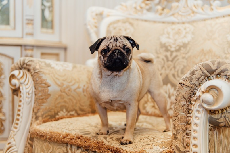 pug puppy on a chair