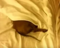 (Video) This Cute Doxie is Nowhere to be Found in Mommy's Bed. When She's Called? OMG, so Cute!