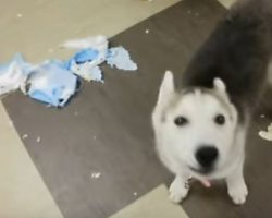 (Video) Husky Pup is Called a Cry Baby. How She Hilariously Vocalizes Her Dismay? ROFL!