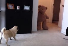 (Video) Poor Puggy Poops After Being Frightened by a Teddy Bear