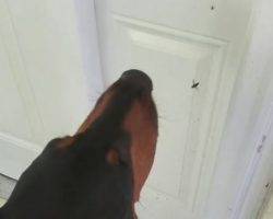(Video) Doberman Gets Quite Upset at a Spider for Catching a Fly in Her Web