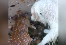 (Video) Golden Retriever Brings Us to Tears When He's Seen Rescuing a Baby Deer