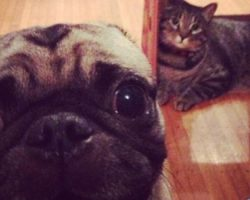 Pug Photobombing – It Doesn't Get Any Better Than This!