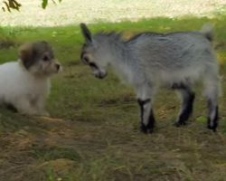 (Video) When a Goat Stares Down a Puppy, We Never Expected the Pup to React Like This