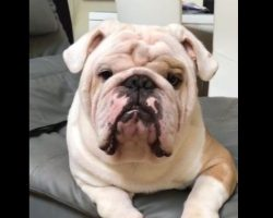 (Video) Man Tells His Bulldog to Show Some Teeth and Look Mean – LOL!